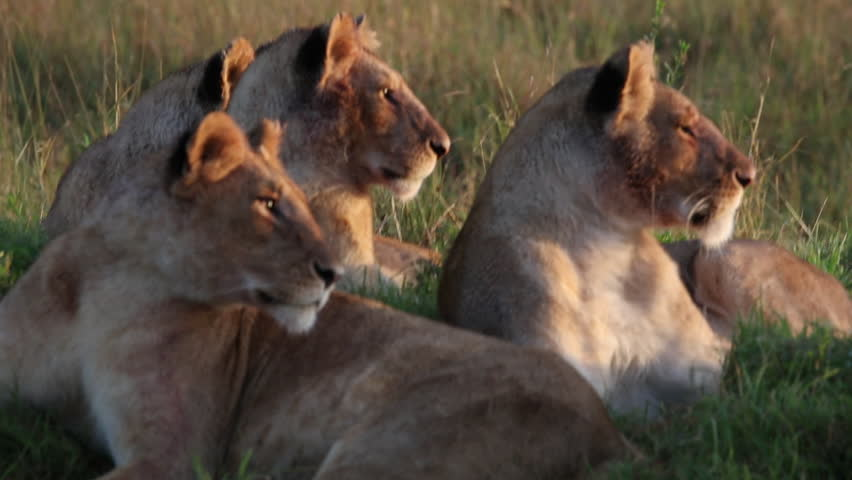 Closeup of an early morning scene with a pack of young cubs in a lion pride resting on a mound on the savanna in the Masai Mara wildlife park in Kenya, East Africa. #15509755
