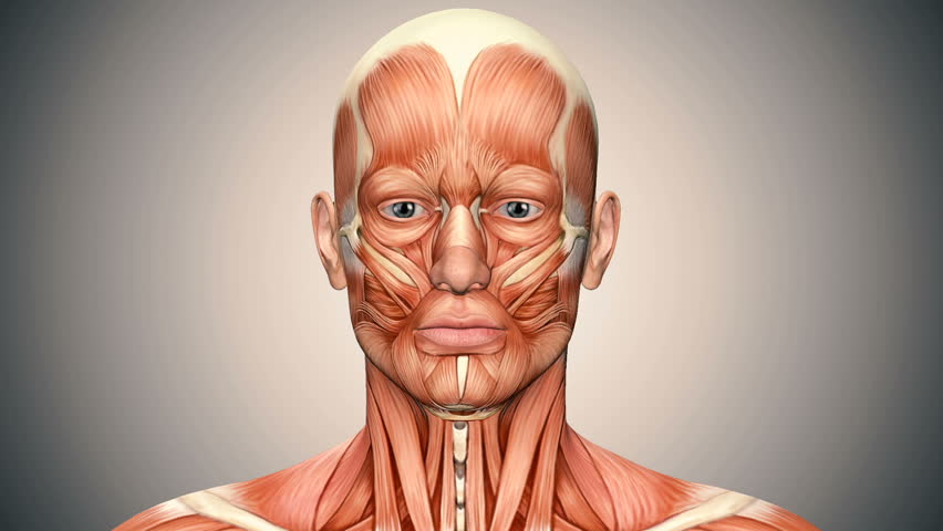 3d animated male face anatomy