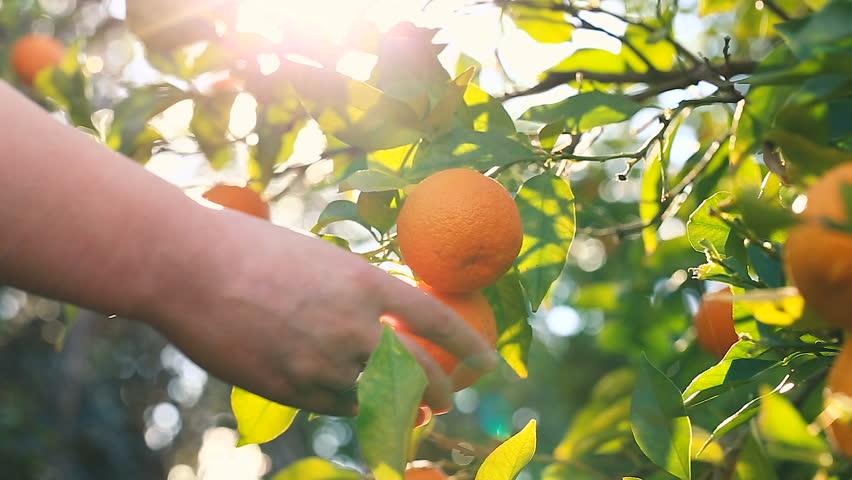 Hand picking an orange from a tree. | Shutterstock HD Video #15540256