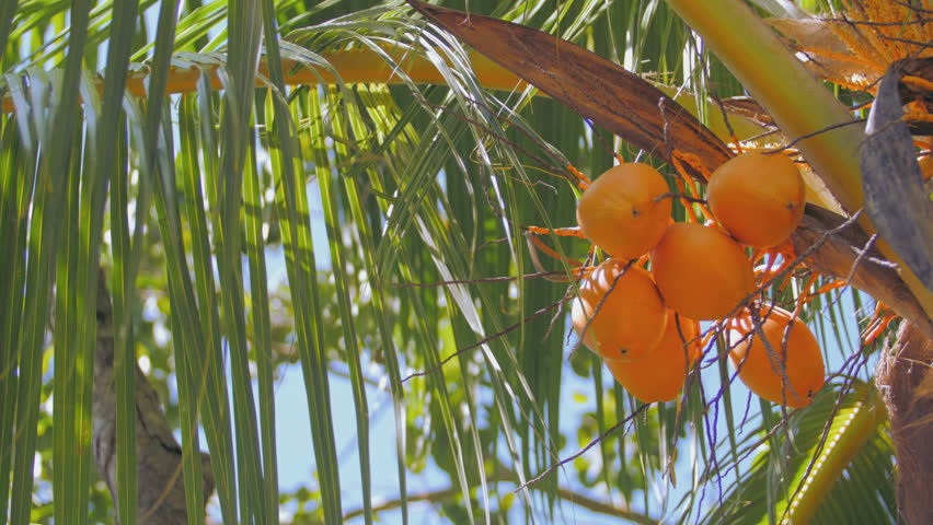 A bunch of yellow coconuts on a palm tree on the right side of the picture  | Shutterstock HD Video #15636535