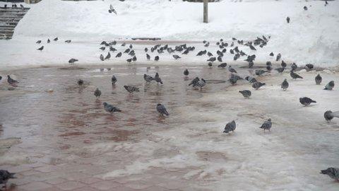 Pigeons eating bread. Pigeons eating bread
