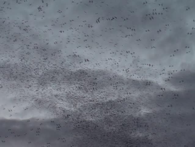 Flocking birds   Shutterstock HD Video #15870