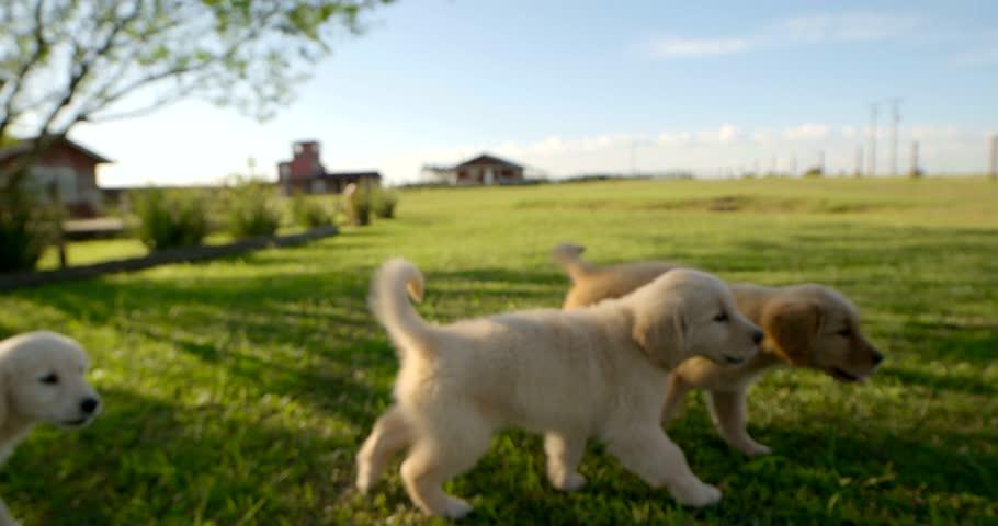 Puppies on field Dog Golden | Shutterstock HD Video #15871261