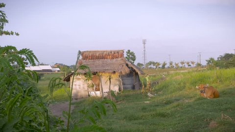 Establishing shot of a rustic abandoned shack with a brown cow laying down and chewing it's cud in Bali, Indonesia