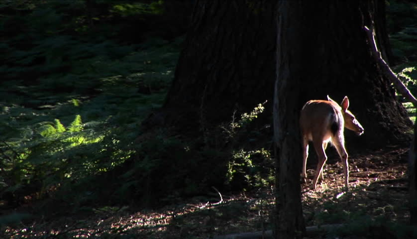 A fawn stands near a tall tree in the forest