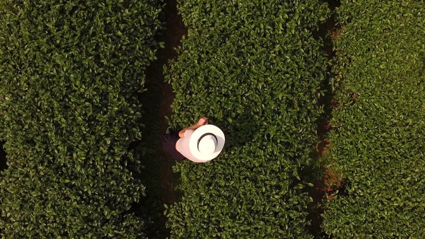 Aerial shooting from flying drone of a woman worker is collecting tea leaves on a large plantation in Thailand. Top view of young female traveler in sun hat is standing on a field with coffee brushes