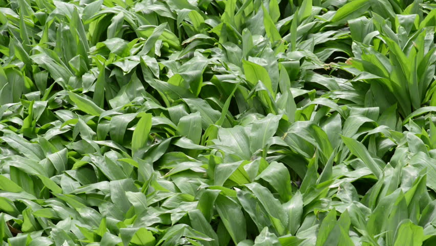 Wild garlic (Ramsons) in springtime. fresh leaves are edible. | Shutterstock HD Video #15972745