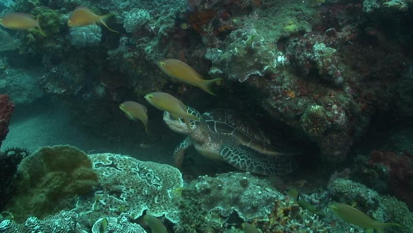 Green Turtle   Shutterstock HD Video #1600789