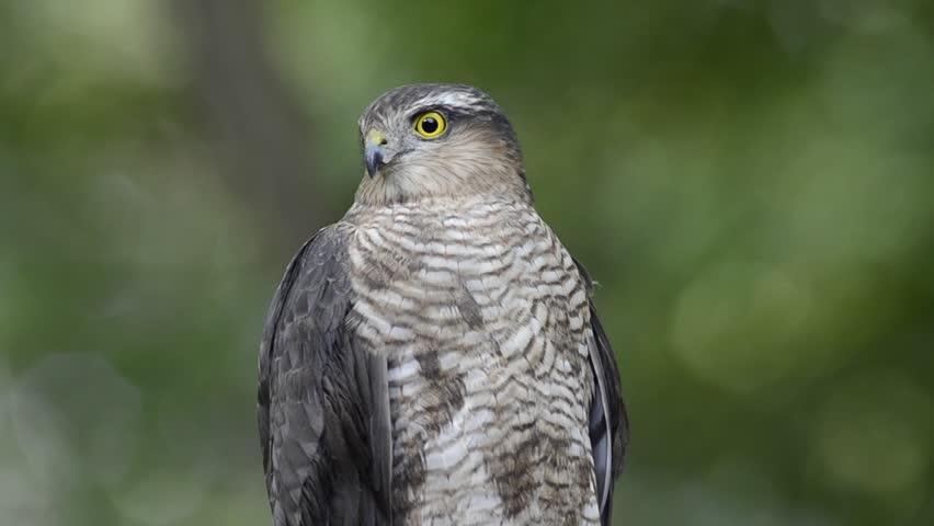 Eurasian sparrowhawk (Accipiter nisus) sitting on the branch | Shutterstock HD Video #16151590