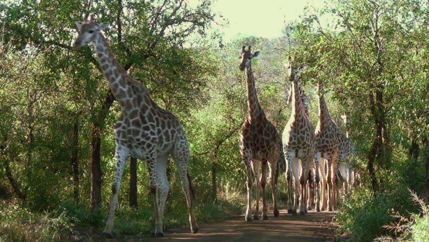 Large herd of giraffe walking through forest