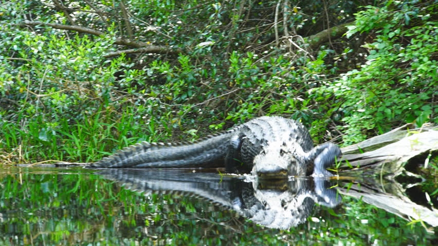 American Alligator (Alligator Mississippiensis)  in southern swamp. A large male laying on a a log, slides into water and approaches boat.