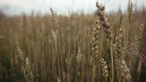 camera slide with close up of wheat growing on the field