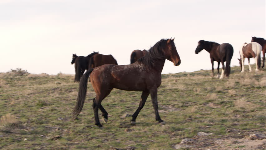 Young wild horse challenges the Alpha male by pointing and kicking up dirt. | Shutterstock HD Video #16221202