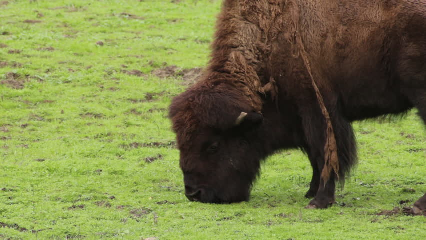 American bison close up of one eating in a green field | Shutterstock HD Video #16230490