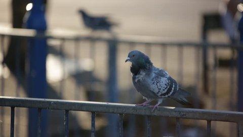 Competing pigeons