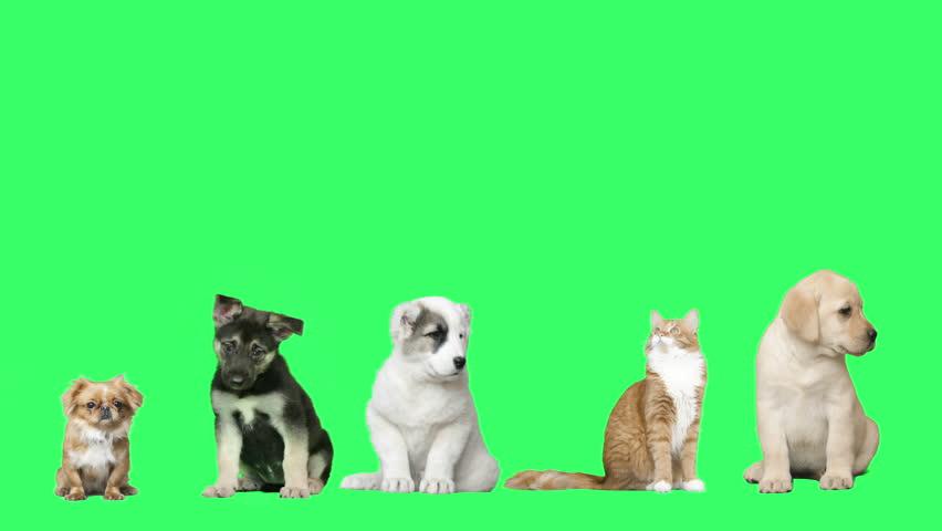 Pets on green screen | Shutterstock HD Video #16266466