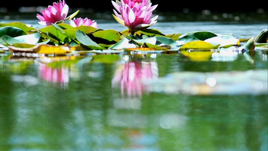Pink lotuses reflection on a pond