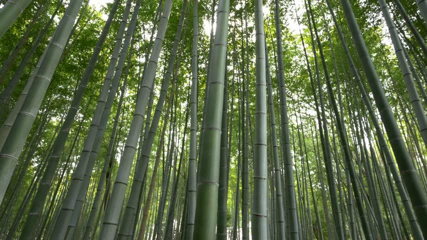 Panning shot of Bamboo forest, Arashiyama, Kyoto, Japan | Shutterstock HD Video #16327147