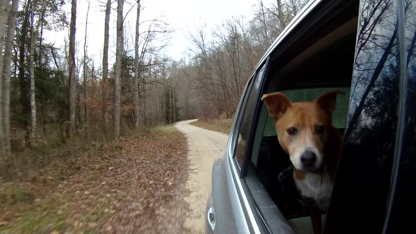 Dog enjoying a ride on a rural forest road crossing stream. Heeler mix enjoying the wind and watching the world go by outside Beattyville, KY. #16349026