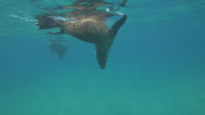 Australian Fur Seal #16379236