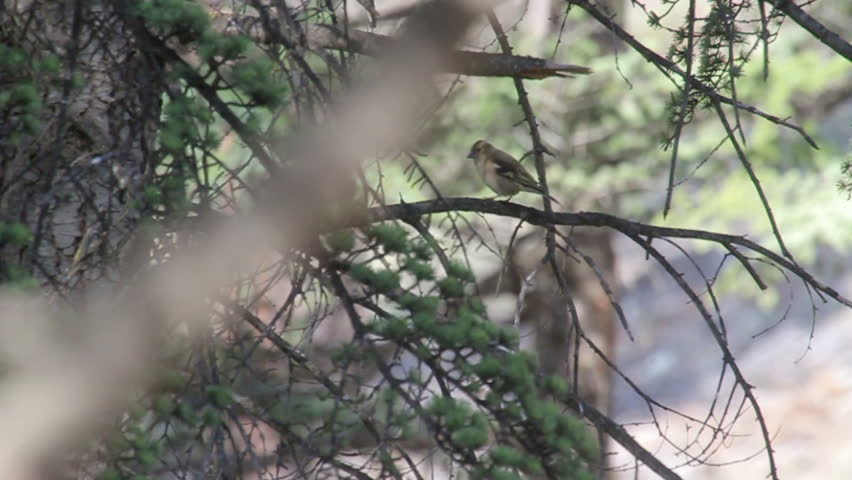Chaffinch standing on a tree Chaffinch bird standing on a branch  | Shutterstock HD Video #16390618