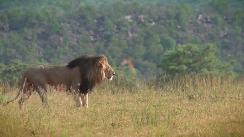 Regal male lion walking across grassland #16432342