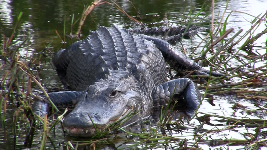 Ahh, an alligator looking right at us!