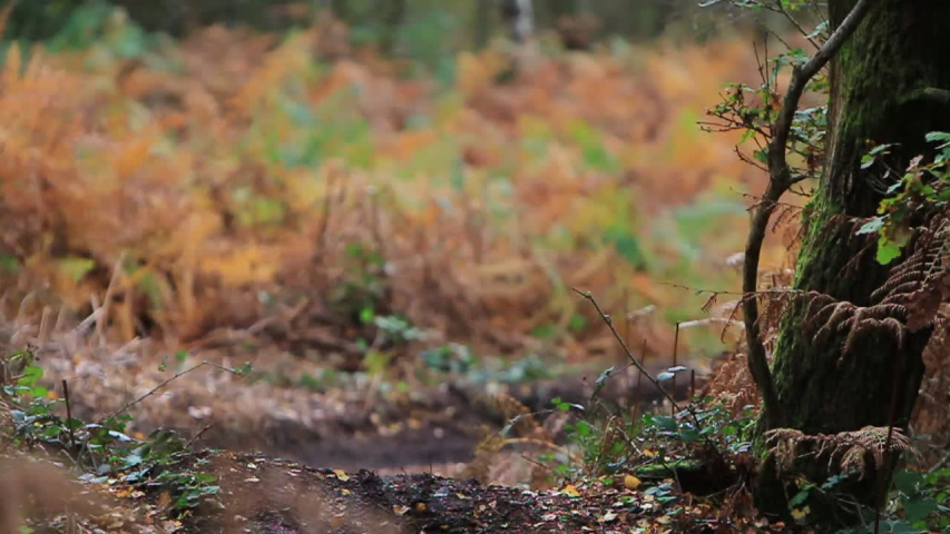 A man jumping on his mountain bike on a single-track dirt trail through a forest. - Model Released - HD - Clip is HD 1920 x 1080