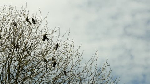 Crows sitting in a tree then flying off. Some crows in the branches off a tree are startled and fly off.