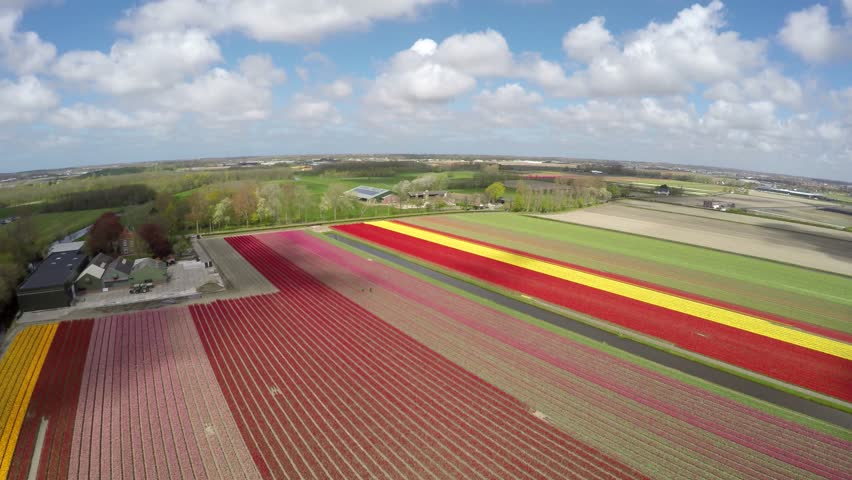 Aerial drone flying over tulip fields near Lisse Keukenhof beautiful colorful flower tulip fields revealing bright colors of red yellow and pink flowers tulips mill blades moving slowly by wind 4k | Shutterstock HD Video #16480411