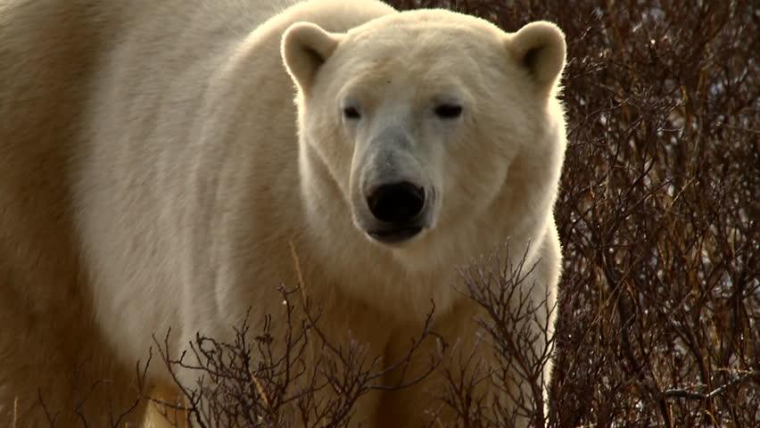 Close up of polar bear walking through willows in golden light, looking at camera.