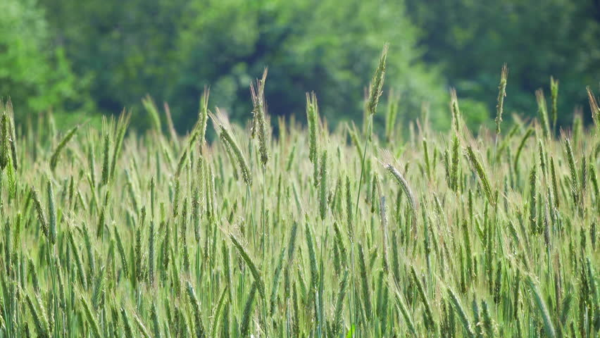 Cinemagraph (motion background video) of a Rye field slowly moving in the wind in southern Sweden near Lund (Ortofta). Summertime (June). Seamless loop for endless repeat.