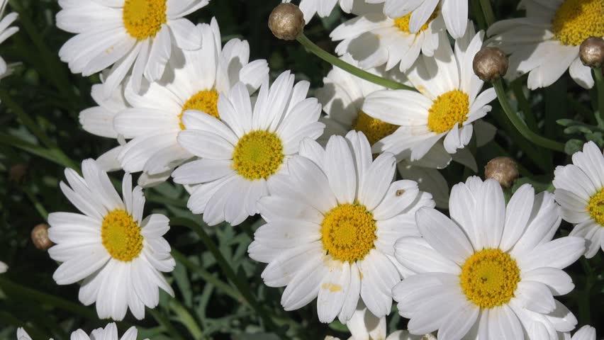 White Marguerite in the nature   Shutterstock HD Video #16543453