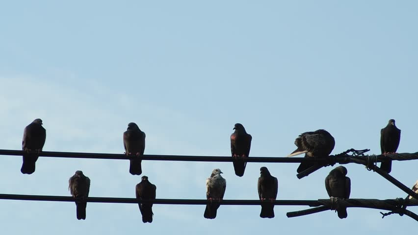 Pigeons sit on the wire against the blue sky | Shutterstock HD Video #16581151