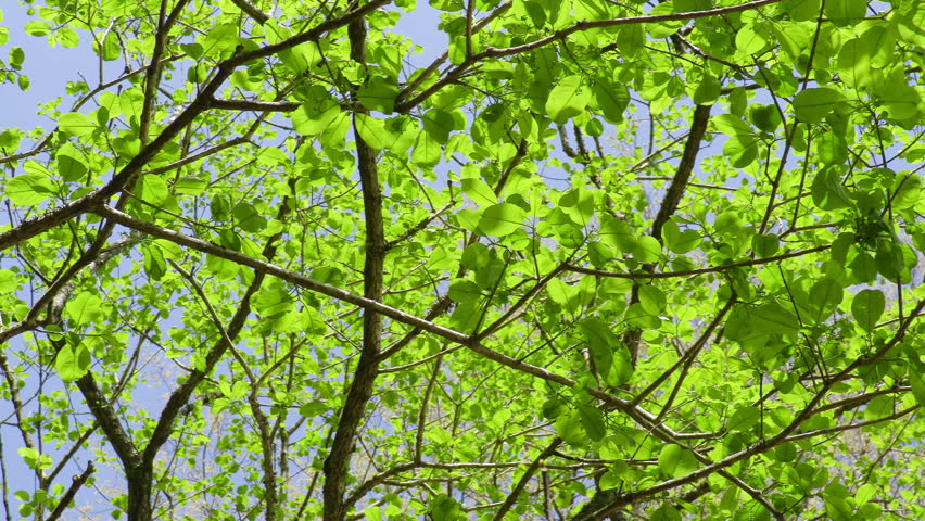 Fresh Green Leaves #16591339