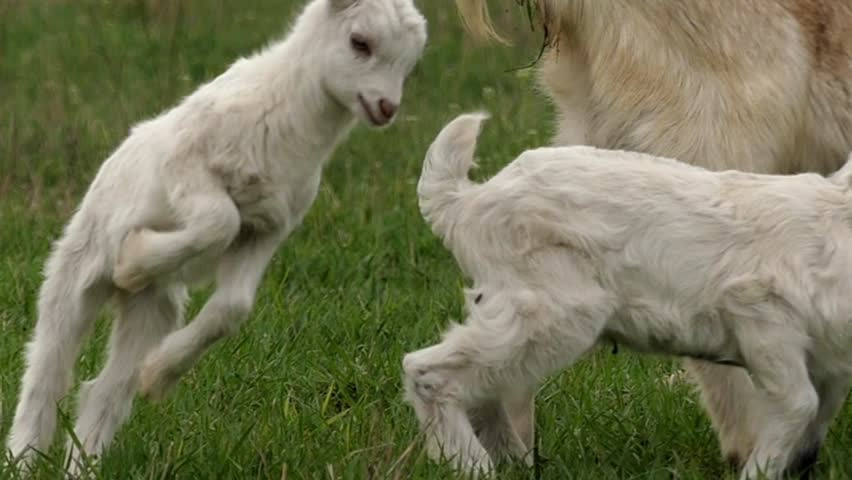 Little White Goats Playing on the Field and Jump. the Action in Slow Motion.