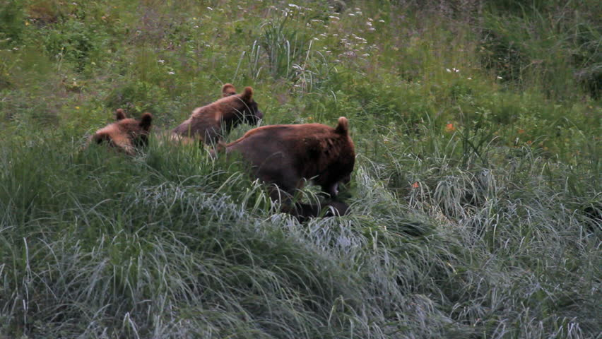 Grizzly Bear female sow with triplet cubs eating grass in a forest meadow. Late evening capture. Three cubs stay close to their mother.