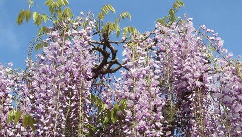 Purple Wisteria Flower in japan