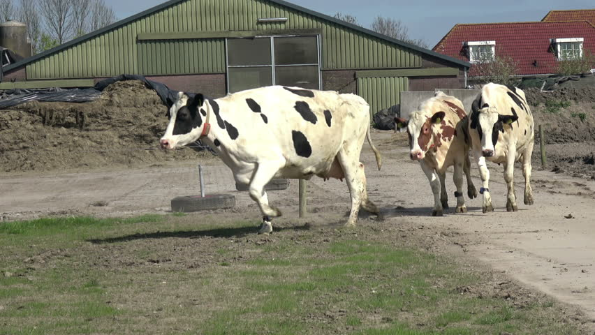 Cows run and jump  in field.