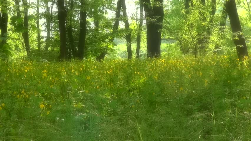 Landscape. beautiful meadow in the woods in the park with yellow flowers and green grass. Soft focus blur. With the sound of natural living forest and birdsong | Shutterstock HD Video #16699183