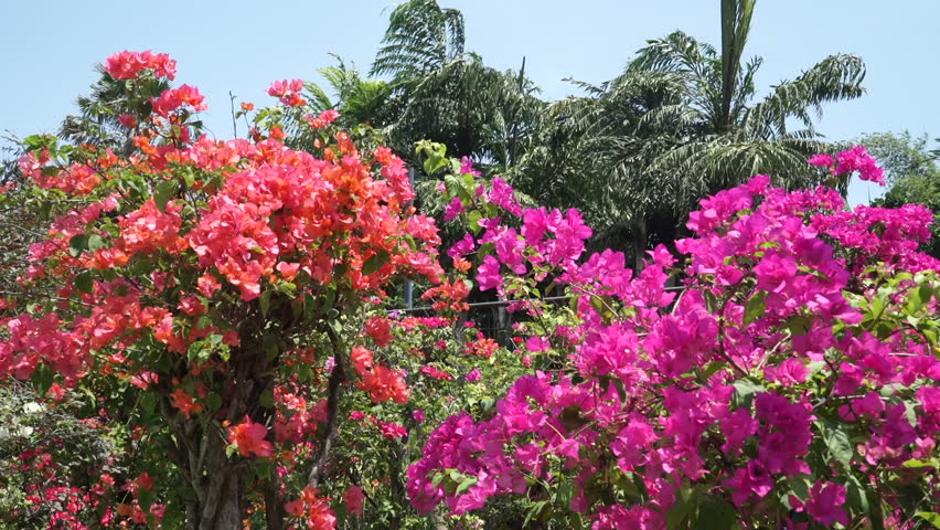 Pink Flowers Bushes Tropical View Stock Footage Video 100