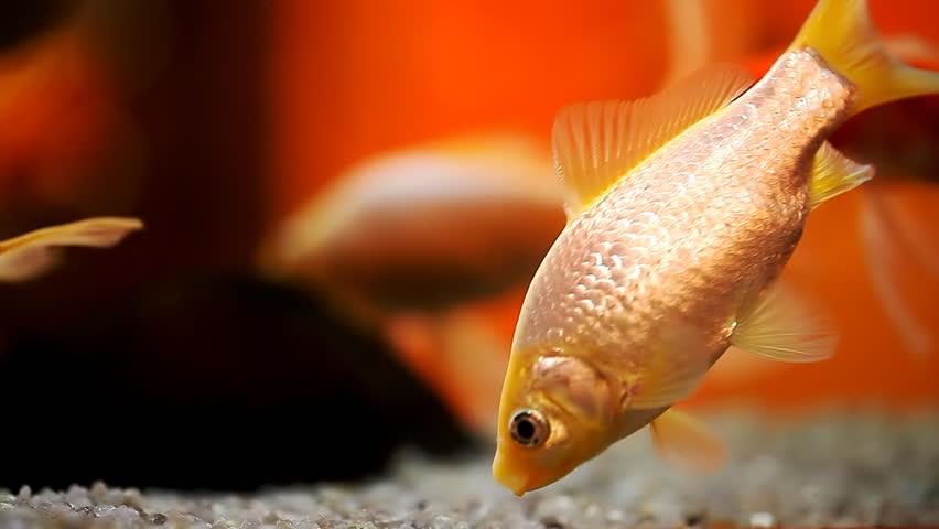 Beautiful Goldfish In An Aquarium Stock Footage Video 100 Royalty Free 16749703 Shutterstock