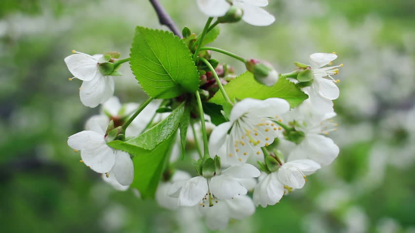 White Flowers On Blossoming Cherry Tree In Spring Bunch Of Cherry