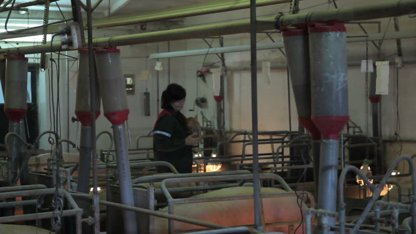 Inside view of pig farm in Eastern Europe | Shutterstock HD Video #16772425