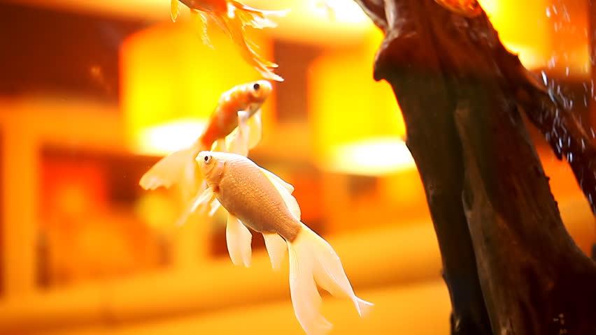 Beautiful Goldfish In An Aquarium Stock Footage Video 100 Royalty Free 16781413 Shutterstock