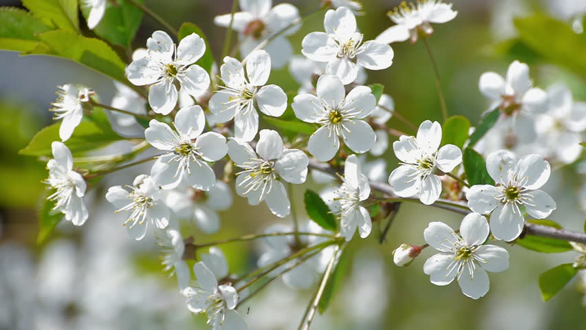Bee Pollinating Flowering Trees Spring