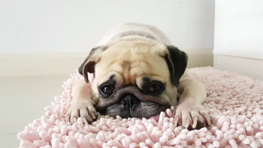 Close-up face of Cute pug puppy dog sleeping by chin and tongue lay down on mat floor | Shutterstock HD Video #16788382
