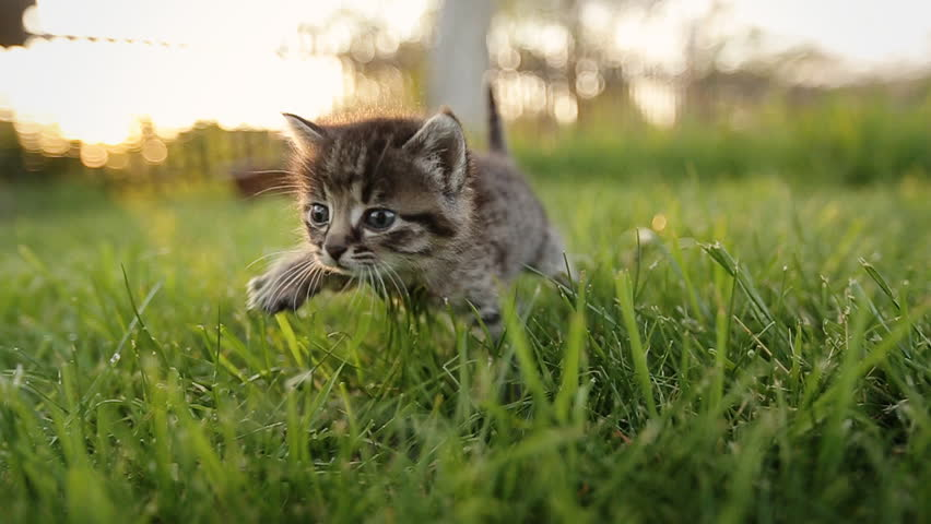 Cute kitty with blue eyes walking on the garden.  Striped, relax, sleep, red, grey, nature, expression, blue, love, play, gray, cute cat, fluffy, kitty, pet, kitten, cat, animal, domestic, cute,  #16821754