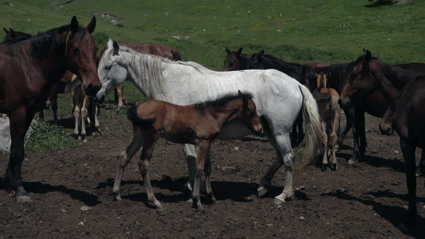 Wild horses eating grass in the mountains of the Caucasus | Shutterstock HD Video #16835470