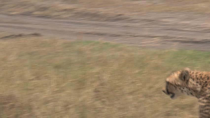 Cheetah walking | Shutterstock HD Video #1686490